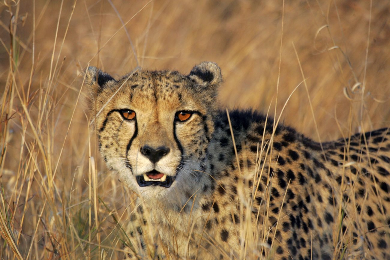 cheetah1 - Amazing Facts about the Cheetah