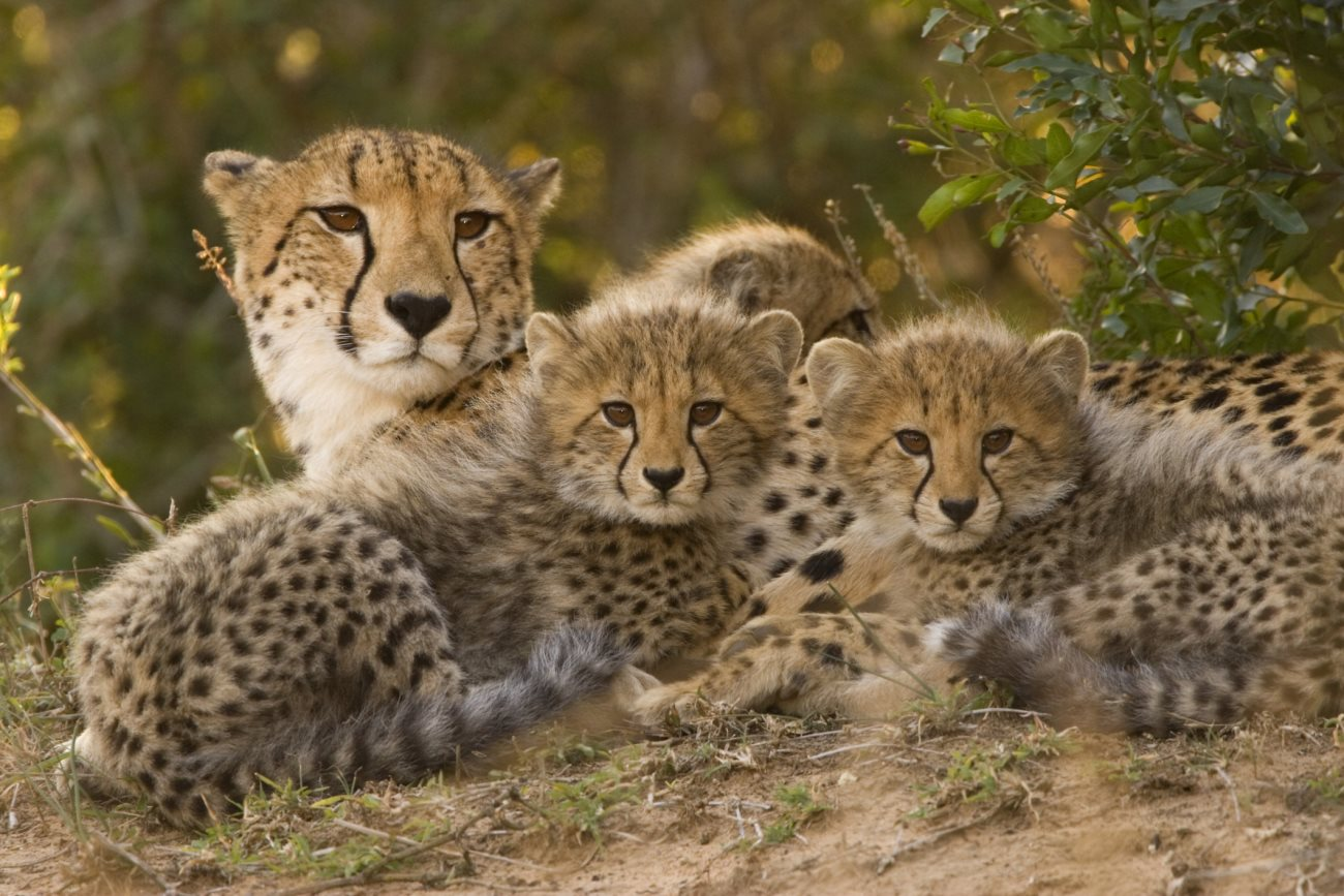 cheetah2 - Amazing Facts about the Cheetah