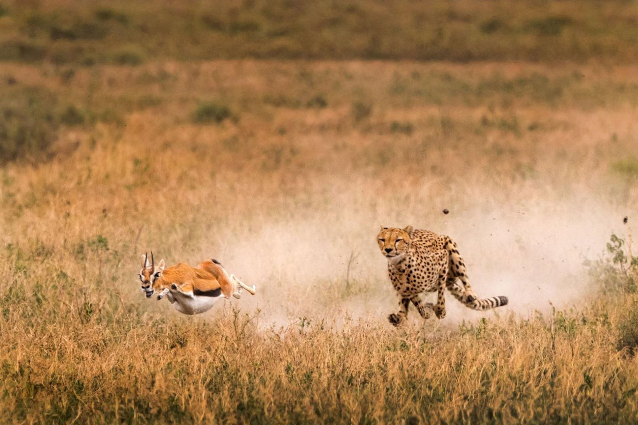 cheetah3 - Amazing Facts about the Cheetah
