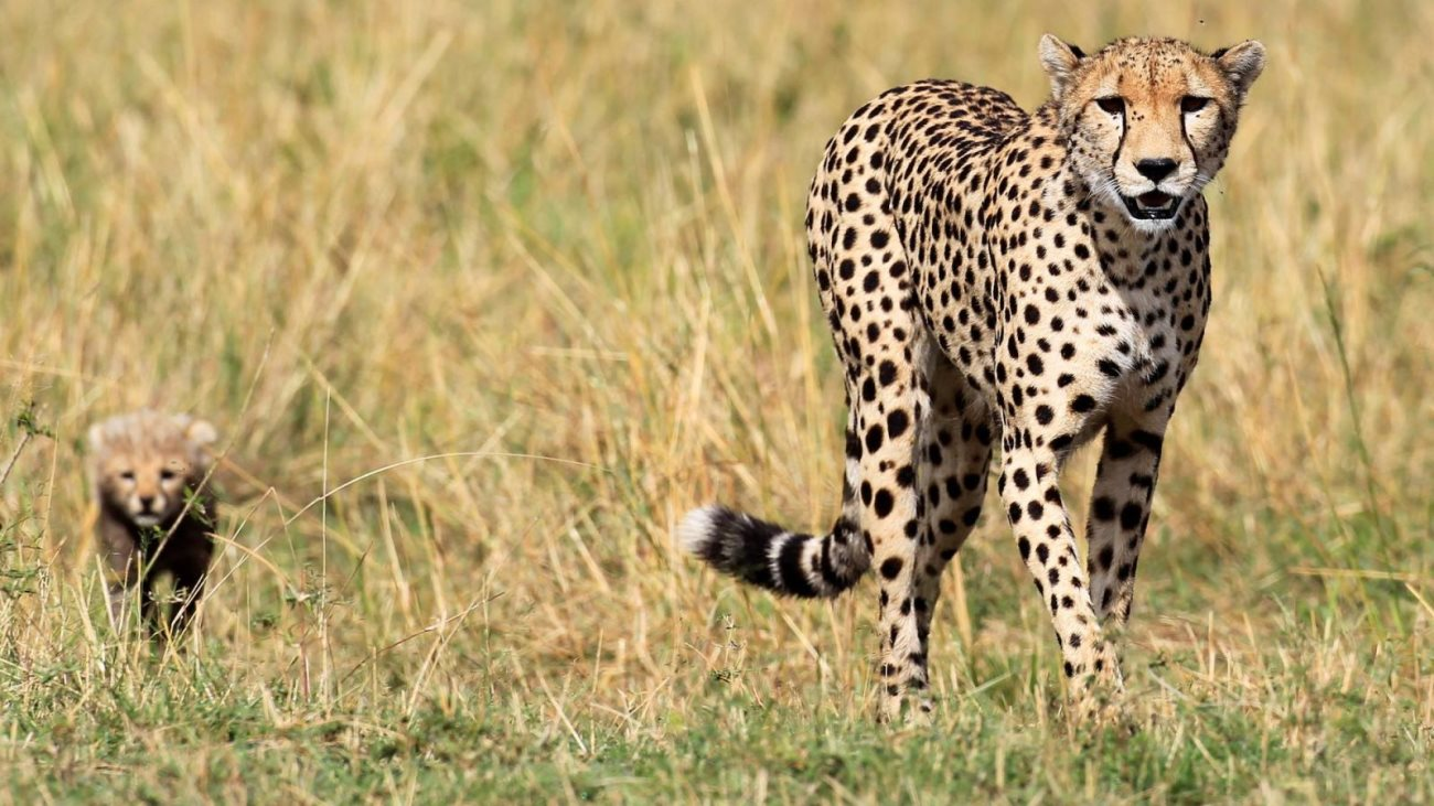 cheetah4 - Amazing Facts about the Cheetah