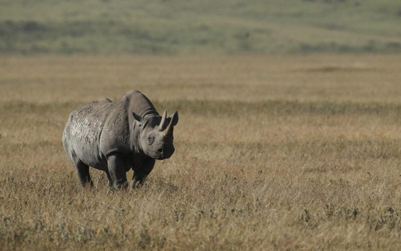 crater ngorongoro rhino - The Ultimate Guide To Planning A Safari In Tanzania