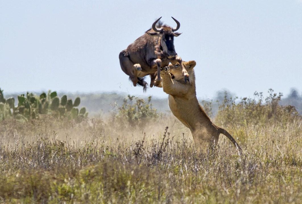8th Wonder of the world, Wildebeest Migration